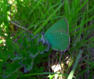 Green Hairstreak butterfly (Callophrys rubi) (image © Mike Poulton)
