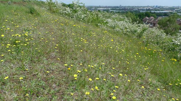 Water-stressed bank overlooking houses where Tall Mouse-ear Hawkweed can be found