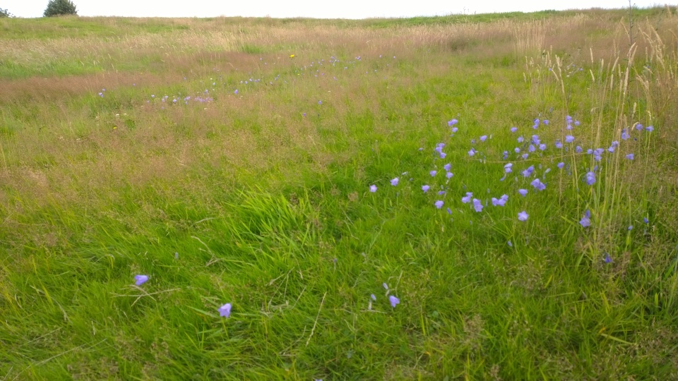 Bury Hill Harebells, July 2015 (image © Mike Poulton)