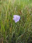 Harebell (Campanula rotundifolia) (image © Jane Tavener)