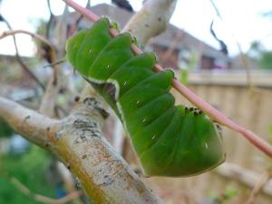 Puss Moth caterpillar (Cerura vinula) (image © Mike Poulton)