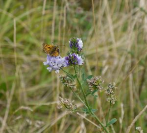 Large Skipper (Ochlodes sylvanus) on Lucerne (Medicago sativa) (image © Jane Tavener)