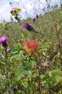 Robin's Pincushion gall produced by the wasp Diplolepis rosae (image © Jane Tavener)