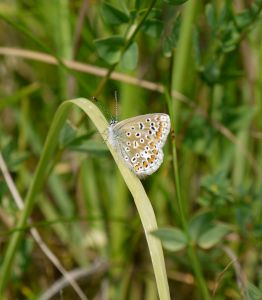 Common Blue (Polyommatus icarus) (image © Jane Tavener)