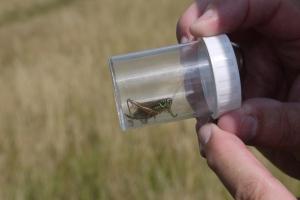 Roesel's Bush-cricket (Metrioptera roeselii) (image © Jane Tavener)