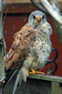 Kestrel (Falco tinnunculus) (image © Andrew Cook)