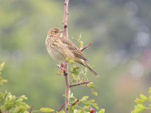 Tree Pipit (Anthus trivialis) (image © Ian Whitehouse)