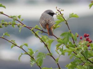 Redstart (Phoenicurus phoenicurus) (image © Ian Whitehouse)