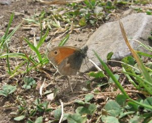 Small Heath butterfly (Coenonympha pamphilus) (image © Jane Tavener)