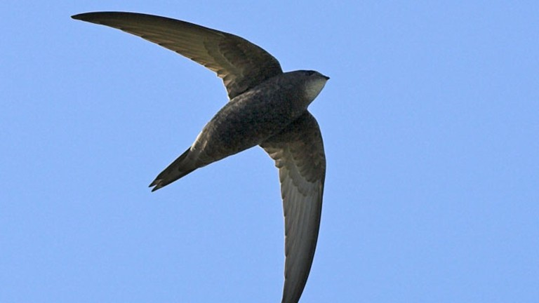 Swift - © Graham Catley