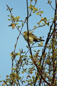 Willow Warbler (image © Andrew Cook)