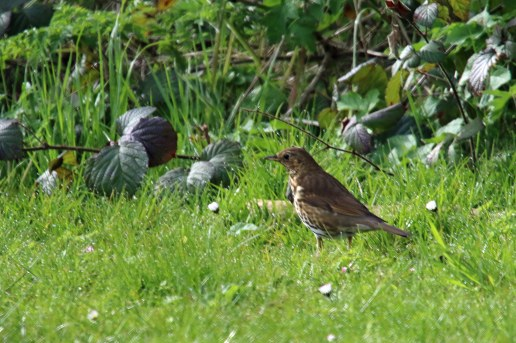 Song Thrush (image © Andrew Cook)