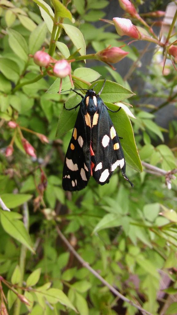 Scarlet Tiger moth (Callimorpha dominula) (image © Mike Poulton)