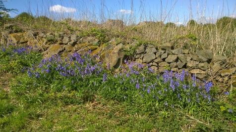 English Bluebell (Hyacinthoides non-scripta) (image © Mike Poulton)