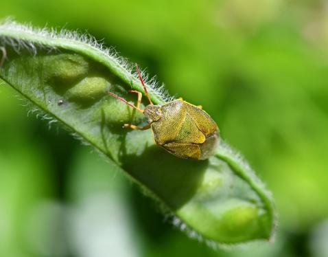 Gorse shieldbug (Piezodorus lituratus) (image © Andy Purcell)