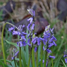 Bluebells (image © Andrew Cook)