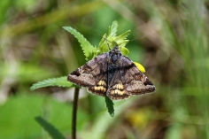 Burnet Companion moth (image © Andrew Cook)