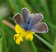 Common Blue butterfly (female) (image © Andrew Cook)