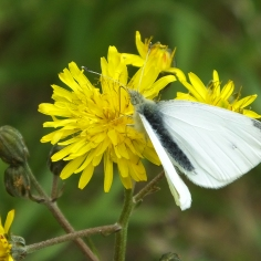Small White butterfly (image © Andrew Cook)