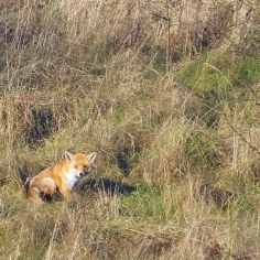 Fox (image © Andrew Cook)