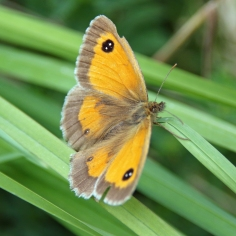 Gatekeeper butterfly (image © Andrew Cook)