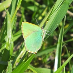 Green Hairstreak butterfly (image © Andrew Cook)
