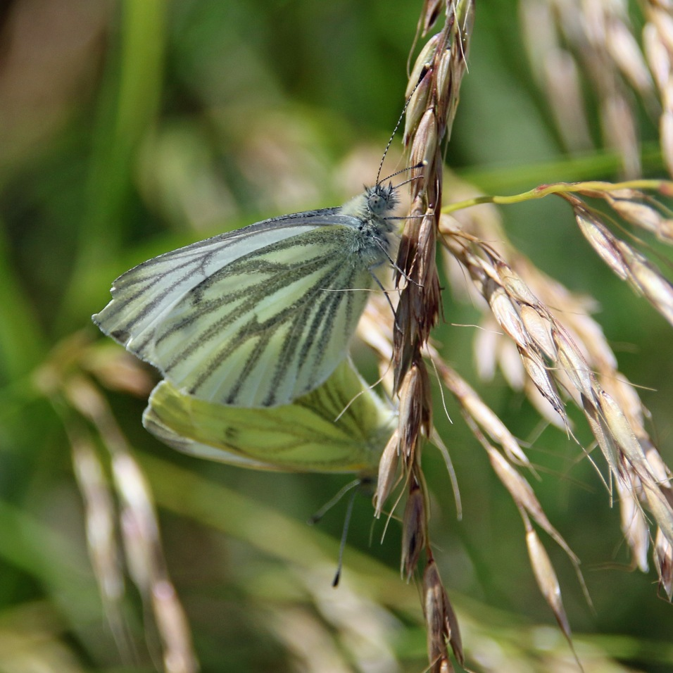 Green-veined White butterfly (image © Andrew Cook)