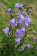 Harebells (image © Andrew Cook)