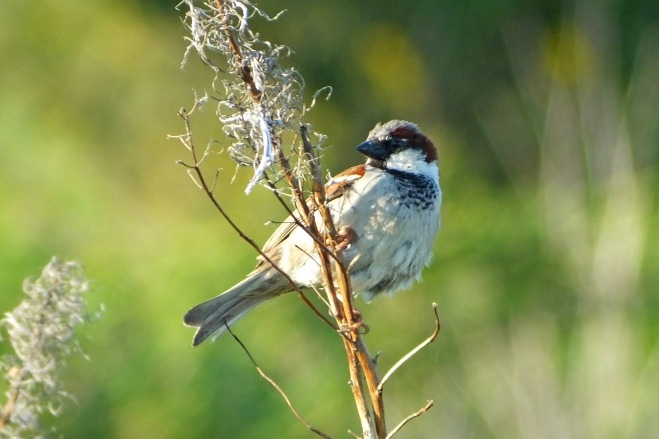 House Sparrow (male) (image © Andrew Cook)