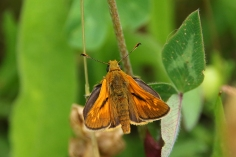 Large Skipper butterfly (image © Andrew Cook)