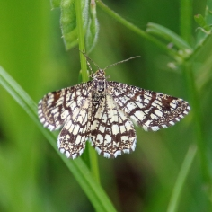 Latticed Heath moth (image © Andrew Cook)
