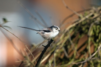 Long-tailed Tit (image © Andrew Cook)