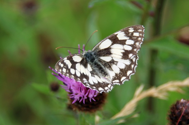 Marbled White butterfly (image © Andrew Cook)