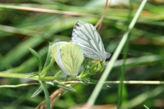 Mating Green-veined White butterflies (image © Andrew Cook)