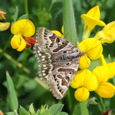 Mother Shipton moth (image © Andrew Cook)