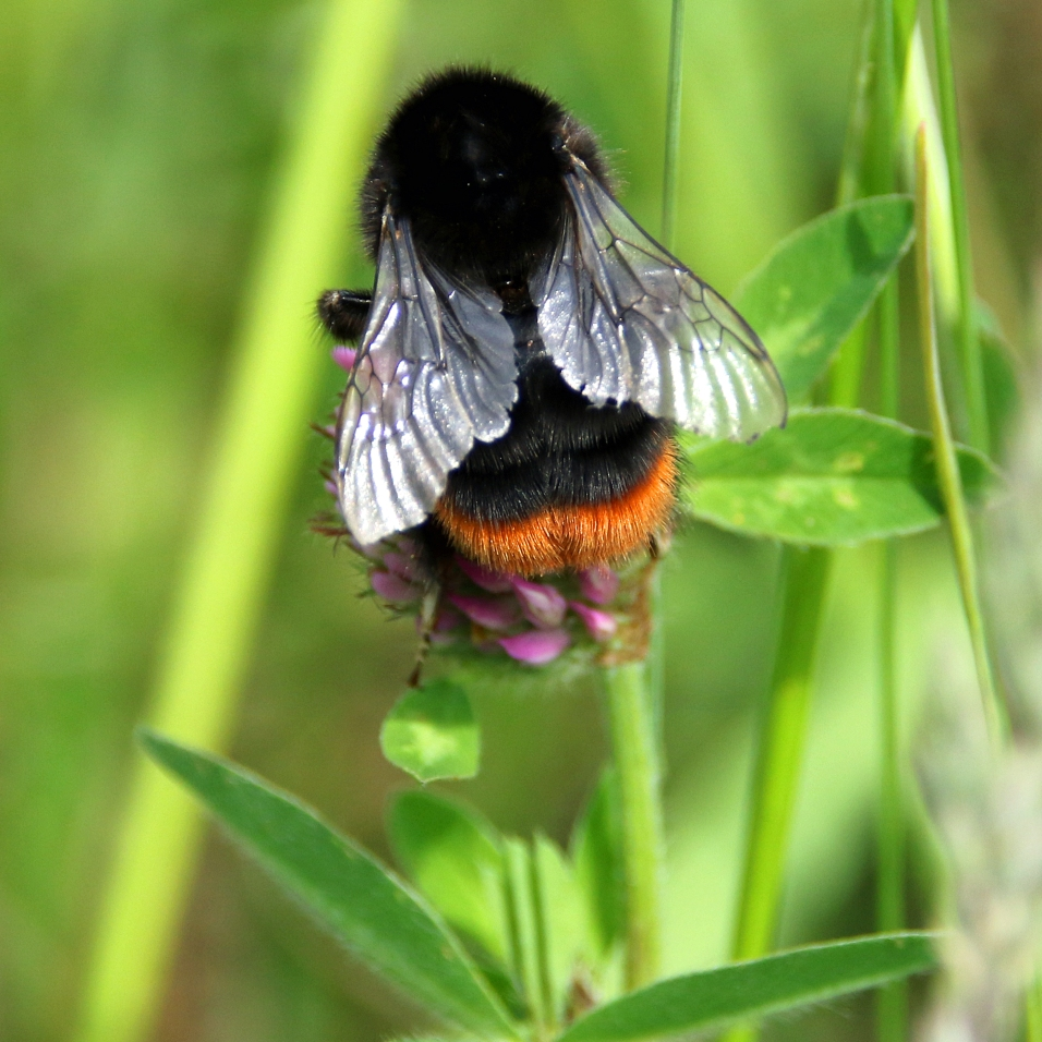 Red-tailed Bumblebee (image © Andrew Cook)