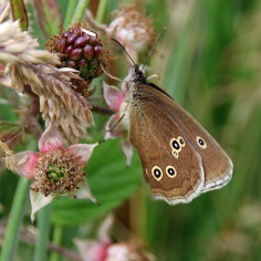Ringlet butterfly (image © Andrew Cook)
