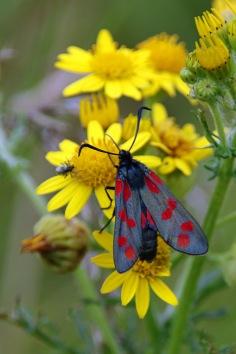 Six-spot Burnet moth (image © Andrew Cook)