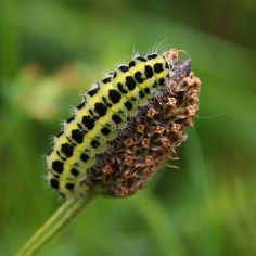Burnet moth caterpillar (image © Andrew Cook)