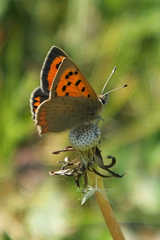 Small Copper butterfly (image © Andrew Cook)