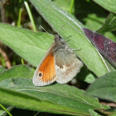 Small Heath butterfly (image © Andrew Cook)