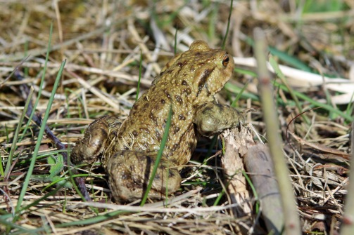 Common Toad (image © Andrew Cook)