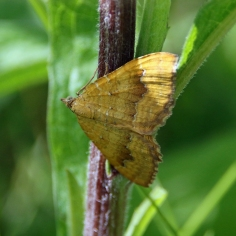 Yellow Shell moth (image © Andrew Cook)