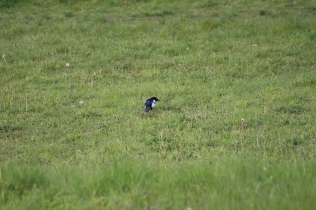Magpie (image © Andy Beaton)