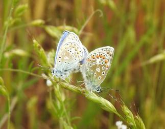 Common Blue (Polyommatus Icarus) (image © Jane VonHeide)
