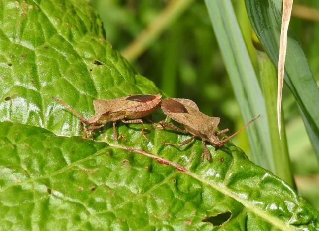 Dock Bug (Coreus marginatus) (image © Jane VonHeide)