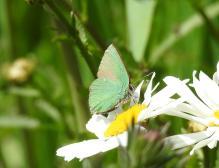 Green Hairstreak (Callophrys rubi) (image © Jane VonHeide)