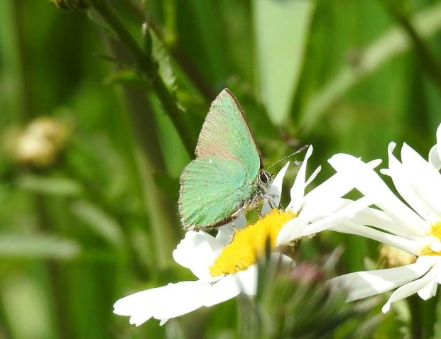 Green Hairstreak (Callophrys rubi) (image © Jane VonHeide)