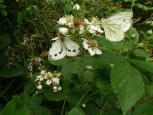Green-veined White (Pieris napi) (image © Mike Poulton)