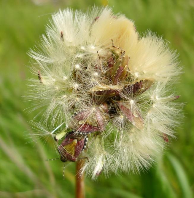 Hairy Shieldbug (Dolycoris baccarum) (image © Mike Poulton)